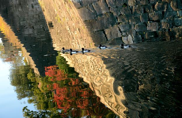 お濠のキンクロハジロ#1