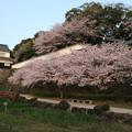 写真: 大村公園の桜