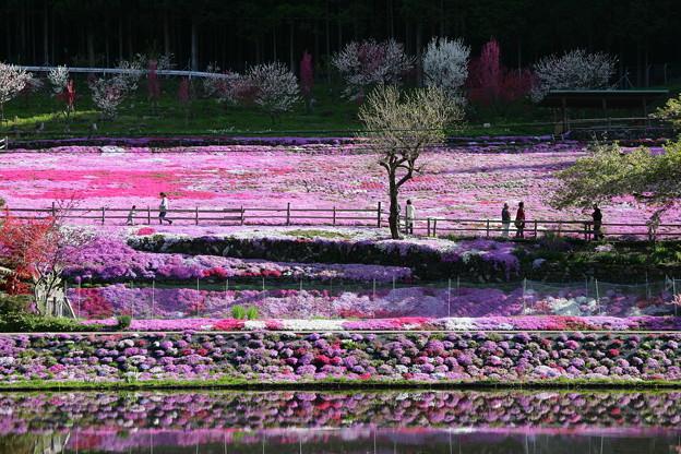 おばあちゃんの芝桜