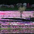 Photos: おばあちゃんの芝桜