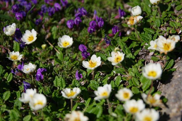 八ヶ岳の花達