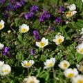 写真: 八ヶ岳の花達