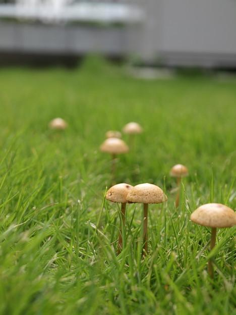 写真: 庭にキノコが生えたよ・・(´・ω・`)