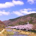 IMGP9214 宮城野の桜並木