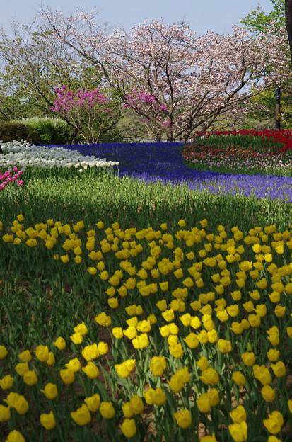 春~桜とチューリップ~