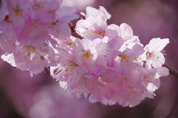 Photos: IMGP8172 春めき桜