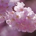 IMGP8172 春めき桜