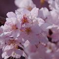 写真: IMGP8160 春めき桜