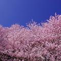 写真: IMGP8156 春めき桜