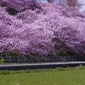 Photos: IMGP8207 春めき桜