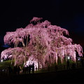 滝桜 ~夜景-2 ~
