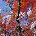 Photos: IMGP9215 冬桜