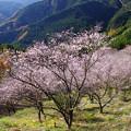 Photos: IMGP9266 冬桜