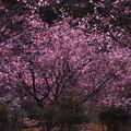 冬桜~ライトアップ~