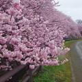 Photos: 春めき桜