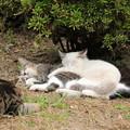 写真: 長浜城の猫(12)