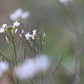 Photos: 種漬花