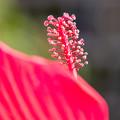 Photos: 紅葉葵