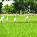 薫風の水田に集うサギたち