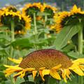 真上向きの向日葵