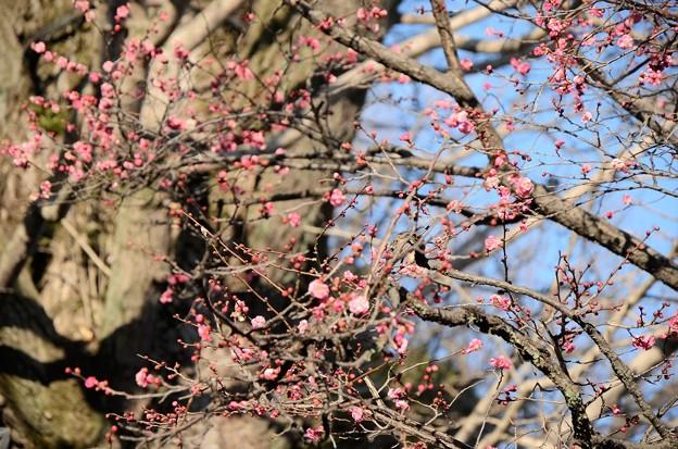 咲き始めた寒紅梅