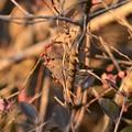 写真: 紅梅の蕾と黒い瞳