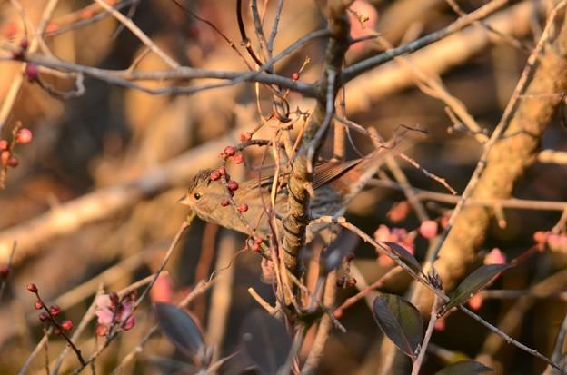 写真: 紅梅とクロジ