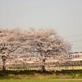 思川橋梁桜堤を行く東武6050系