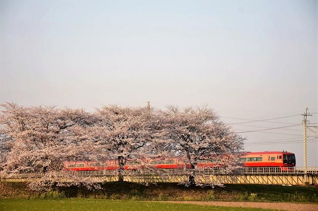 思川橋梁桜堤を行く赤い特急