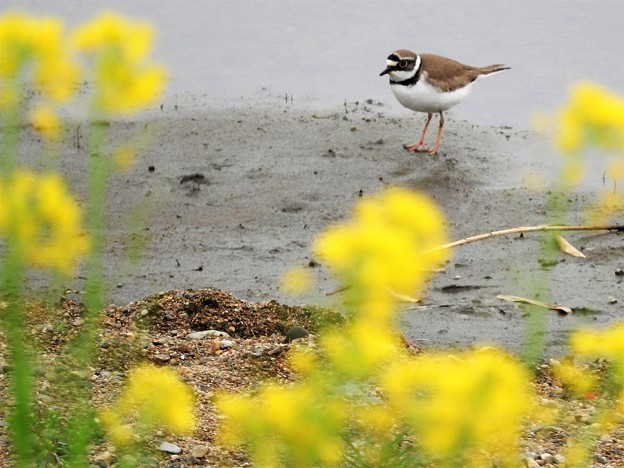 写真: 春の川岸にコチドリ♪
