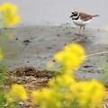 春の川岸にコチドリ♪
