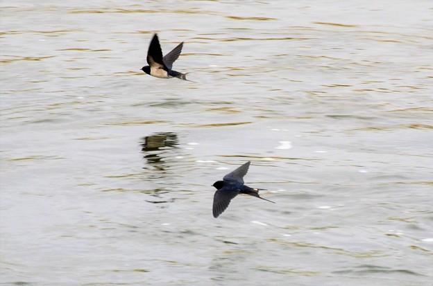 写真: 川面飛ぶツバメ