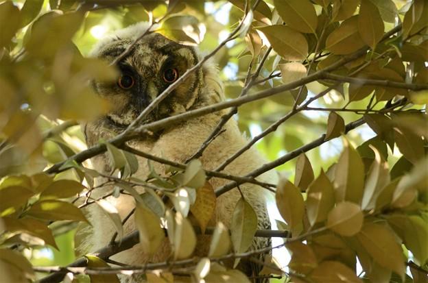 白い綿毛のトラフズク幼鳥
