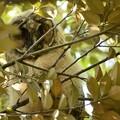 写真: 白い綿毛のトラフズク幼鳥