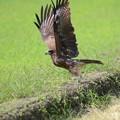 写真: 飛び立つトビ