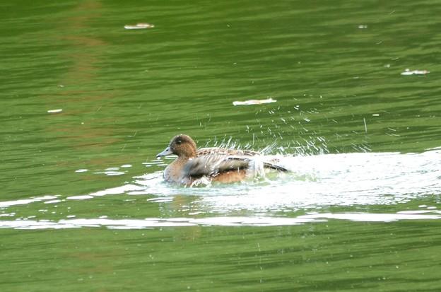 ヒドリガモ水浴び