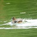 写真: ヒドリガモ水浴び