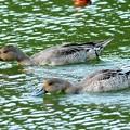 公園の池にオナガガモ
