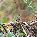 写真: 藪から飛び出したアオジさん