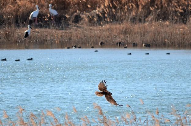 水辺を飛ぶチュウヒ コウノトリとのコラボ