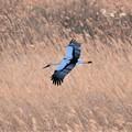 葦原を滑空するコウノトリ
