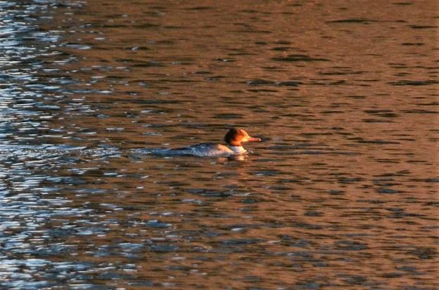夕陽の谷中湖カワアイサ