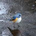 写真: 氷上の青い鳥
