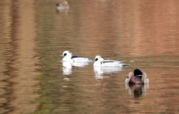 写真: ミコアイサ(雄)2羽並び