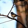 Photos: 夕暮れの林に青い鳥