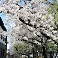Photos: 木屋町高瀬川の桜