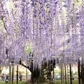 Photos: 樹齢150年の大藤満開