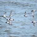 Photos: キョウジョシギ飛翔の群れにミユビシギ?