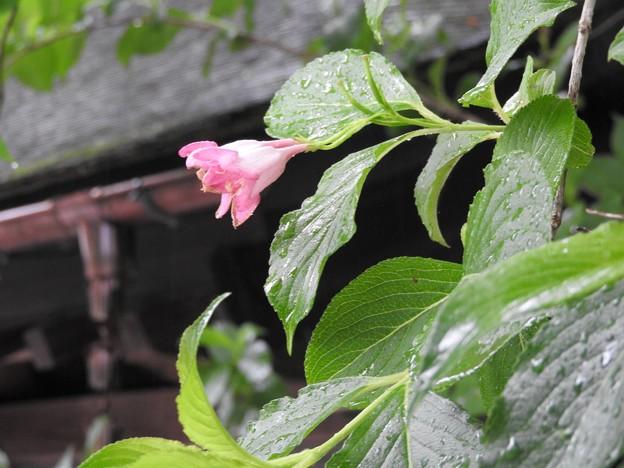 武家屋敷に咲く小さな花