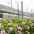 宇都宮線脇に咲く紫陽花